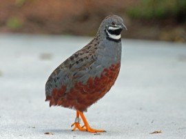 Chinese_Painted_Quail_RWD12b